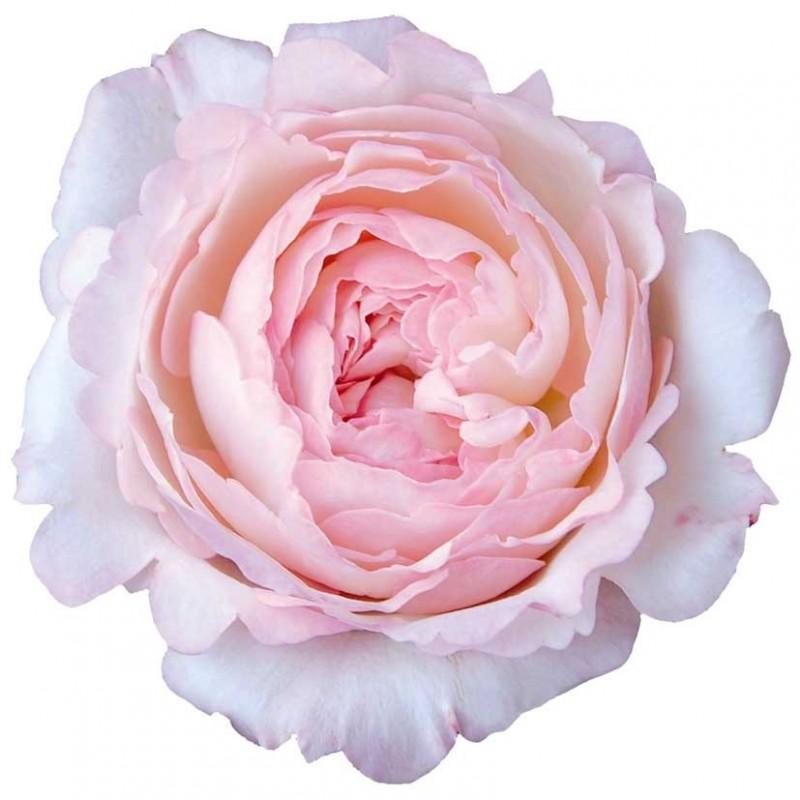 Розы Кейра поштучно от 11 штук