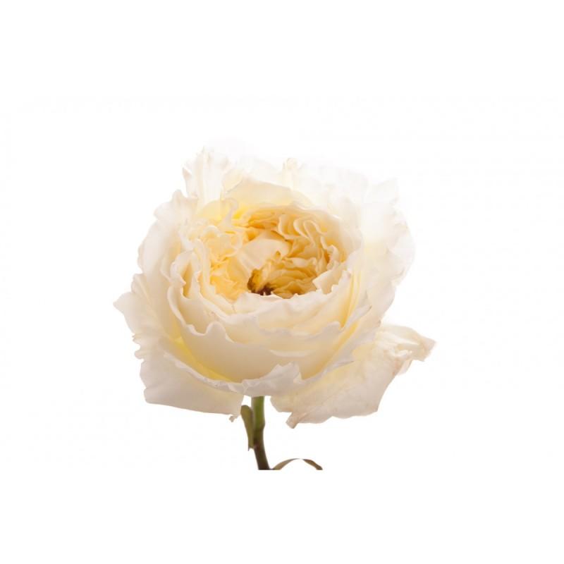 Розы сорта Пейшис поштучно от 11 штук.