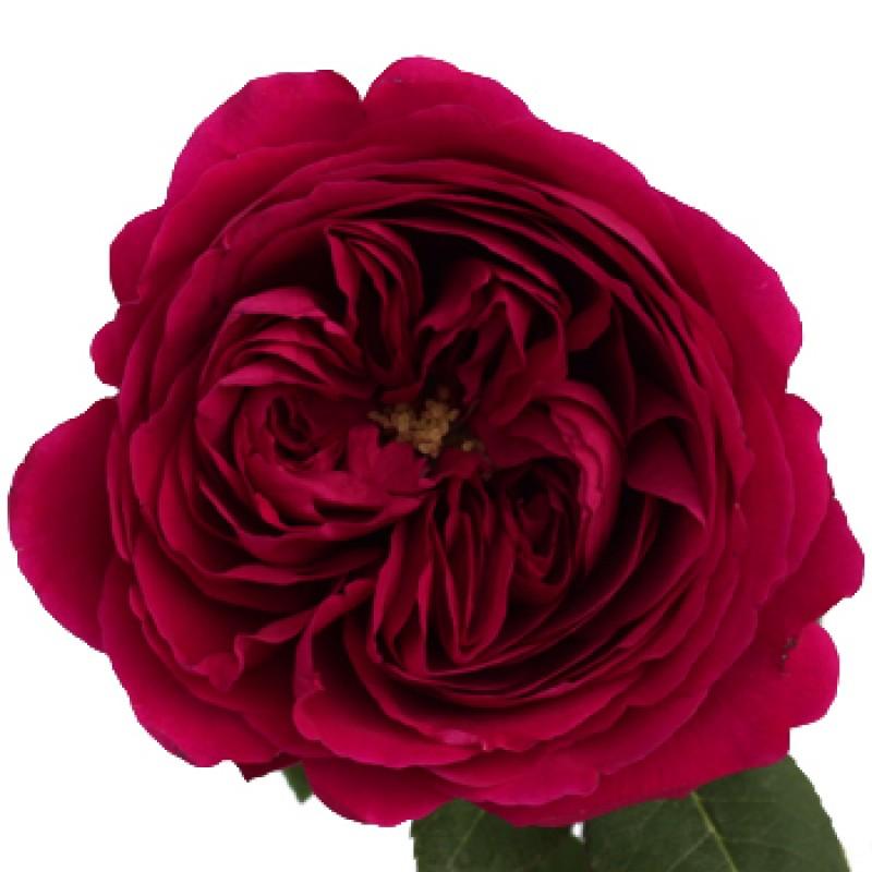 Розы Дарси поштучно от 11 штук