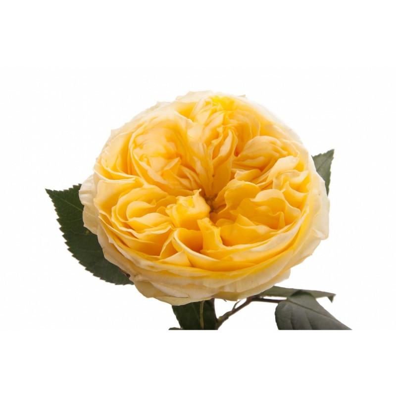 Розы Каталина поштучно от 9 штук