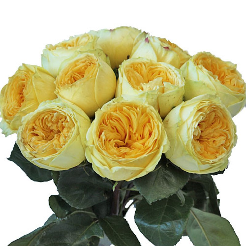 Роза catalina