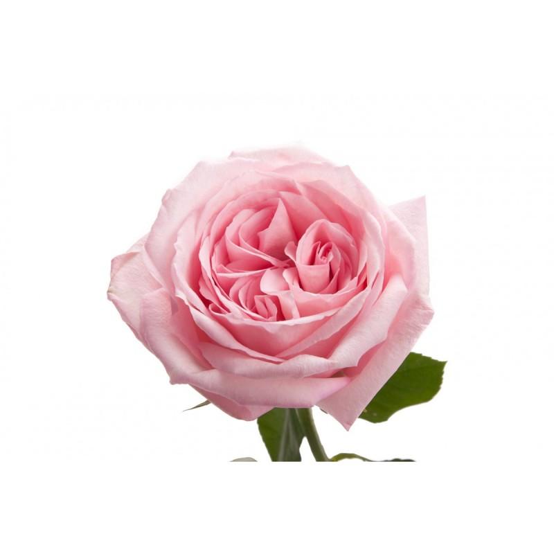 Розы Пинк О Хара поштучно от 9 штук