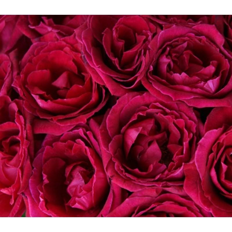 Розы Экстаз поштучно от 9 штук