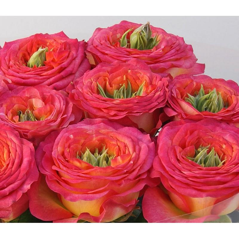 Розы Гудини поштучно от 19 штук