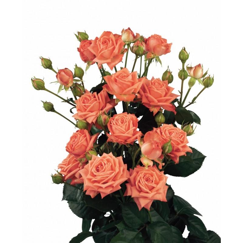 Розы Барбадос