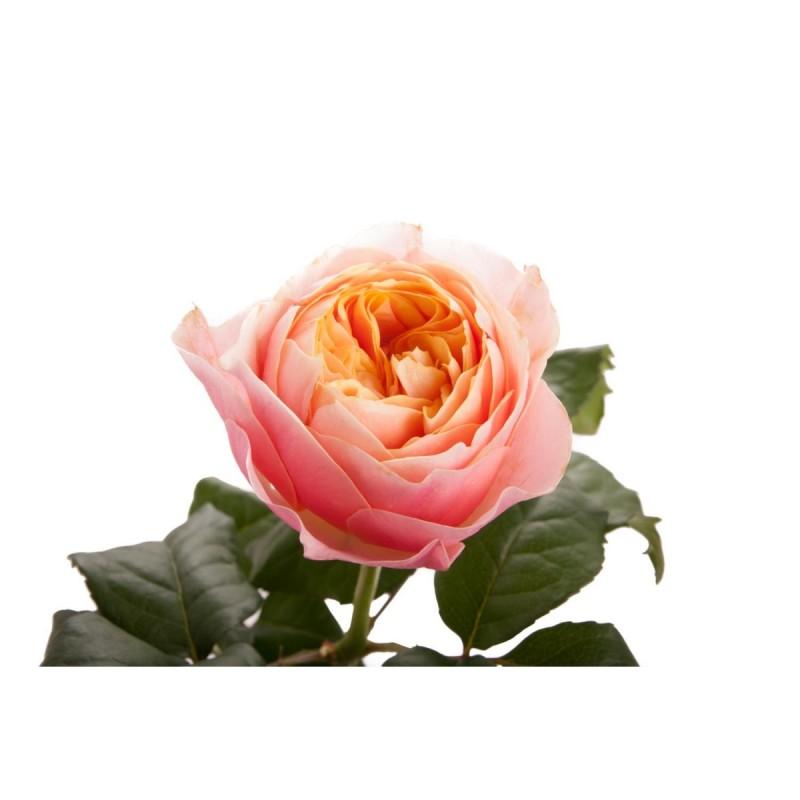 Розы Вувузела поштучно от 9 штук