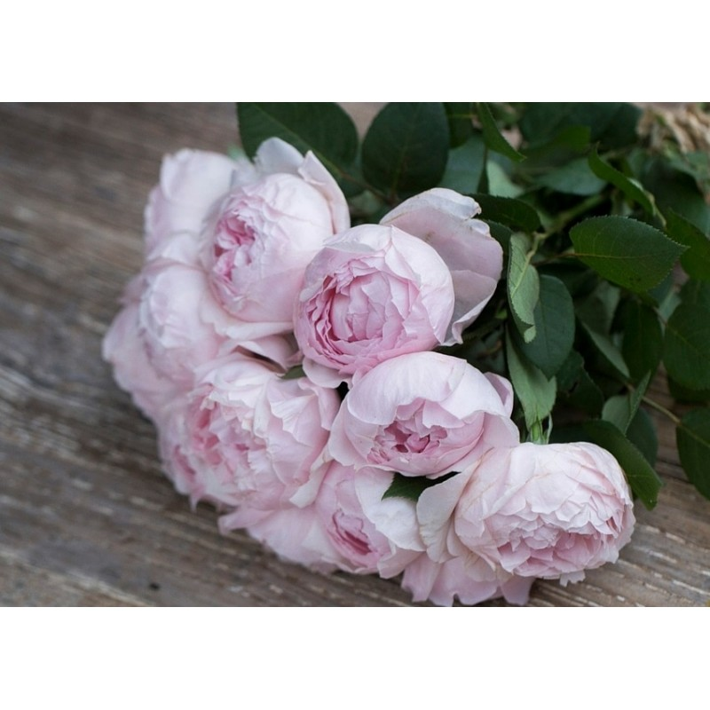 Пеони Пинк (Peony Pink) поштучно от 11 штук