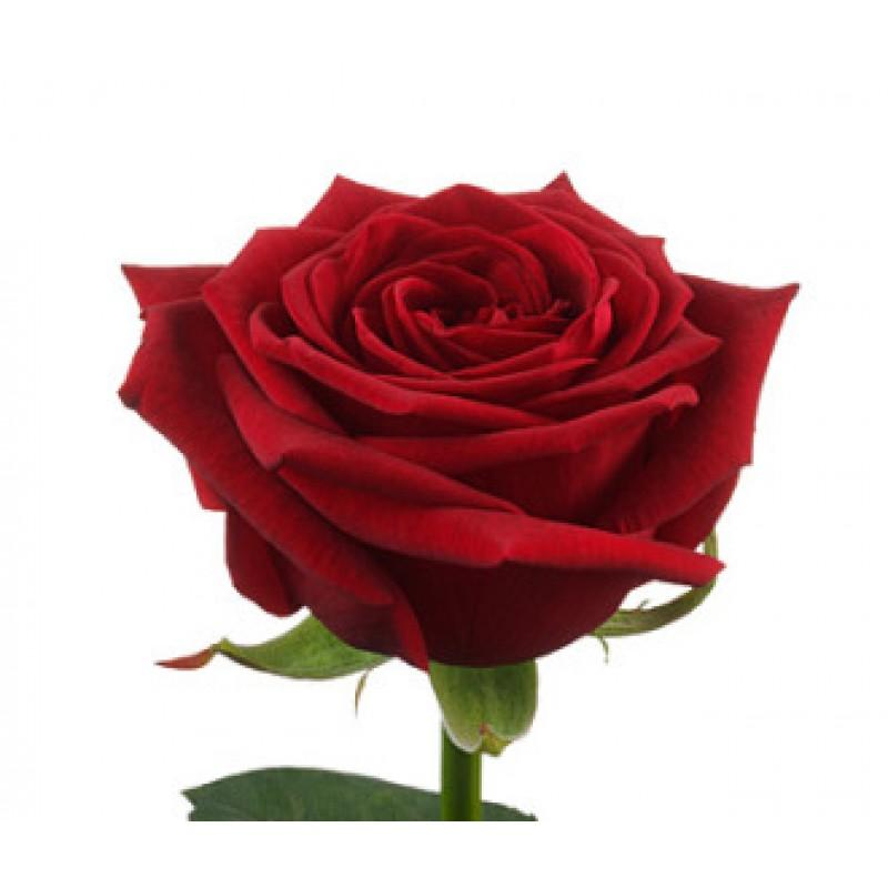 Розы Ред Наоми высота 60 см.