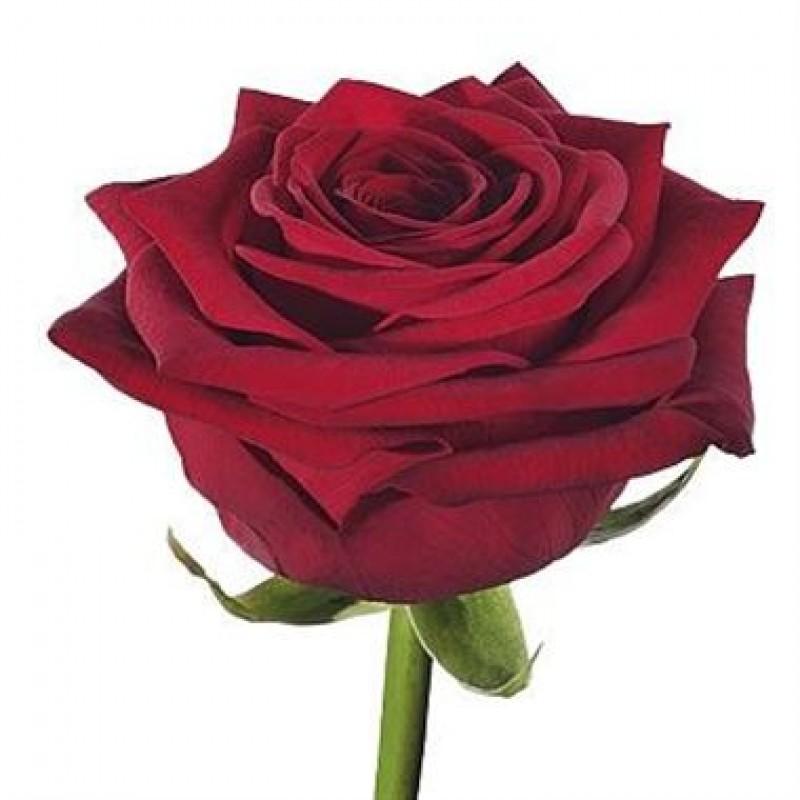 Розы Гран При поштучно от 25 штук, высота 60 см.