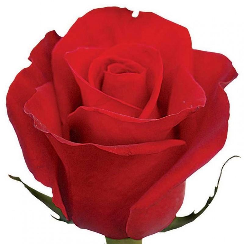 Розы Фридом поштучно от 25 штук, высота 60 см.