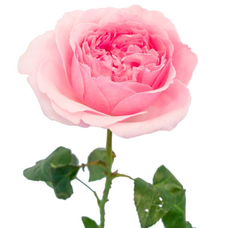 Розы сорта Миранда поштучно от 11 штук