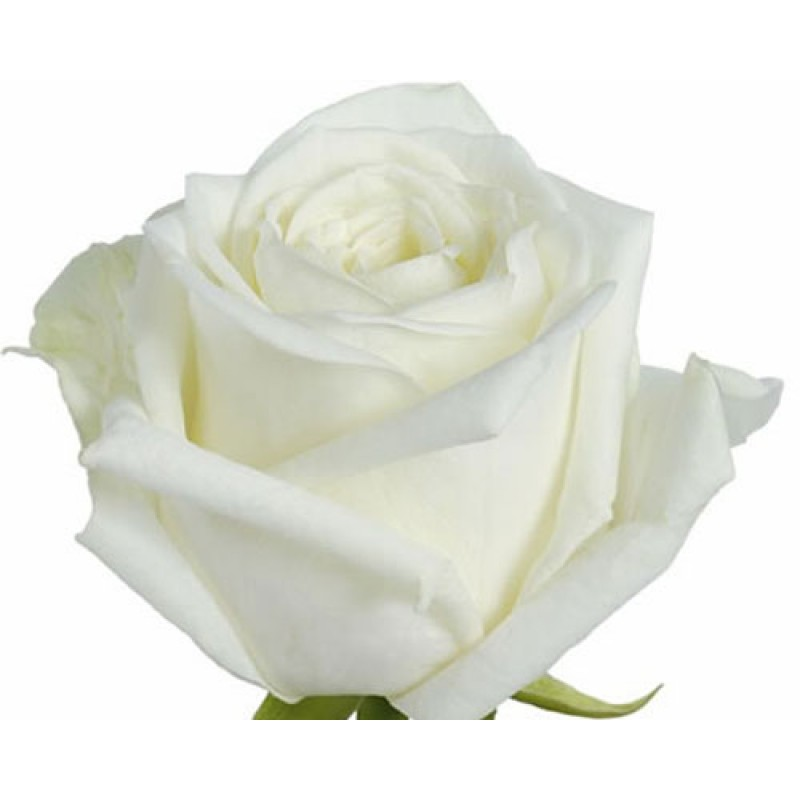 Розы Аваланж поштучно высота 80 см.