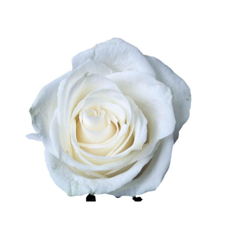 Розы Венделла высота 70 см.