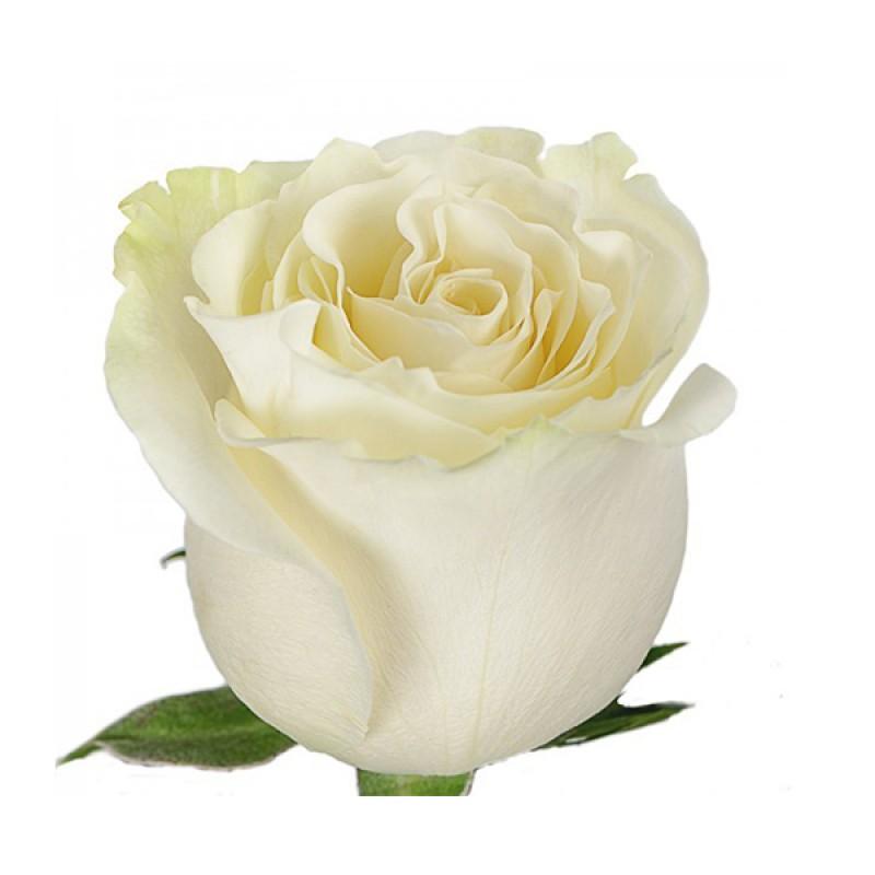 Розы Венделла 60 см., поштучно от 25 штук
